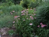 Coneflower and yarrow