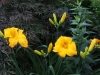 Daylily 'Mary's Gold'
