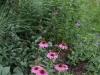 Echinacea 'Little Annie'