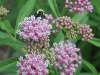 Swamp milkweed and bumblebee