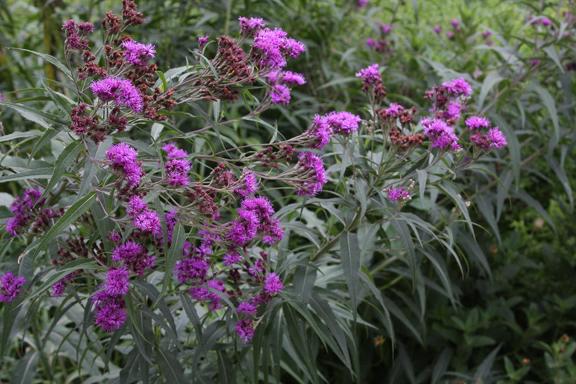 Vernonia, Ironweed