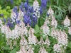 Hyacinth and tiarella