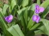 Woodland spiderwort