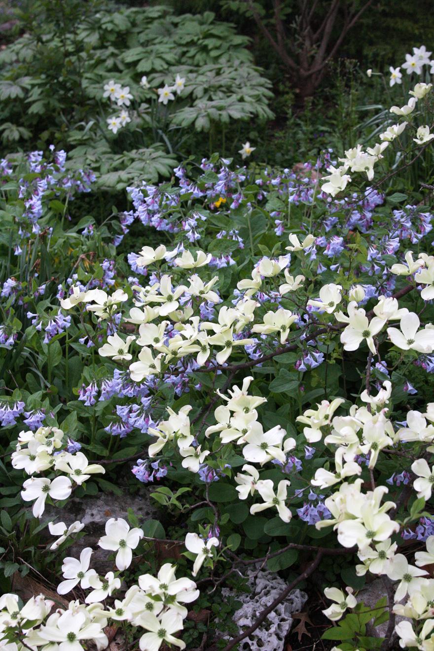 Dogwood and bluebells