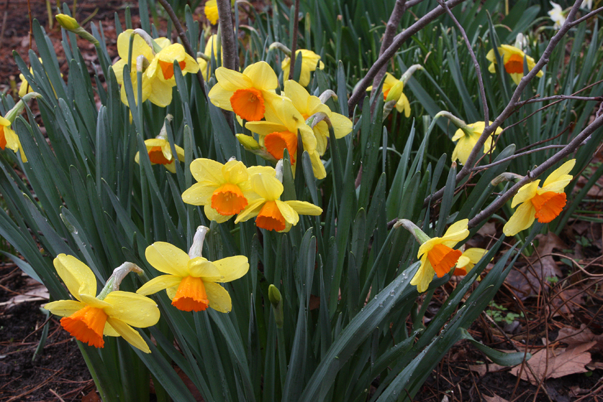 Narcissus 'Monal'