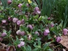 Hellebores and Daffodils