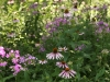 Coneflowers and Phlox