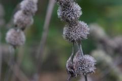 Hairy woodmint