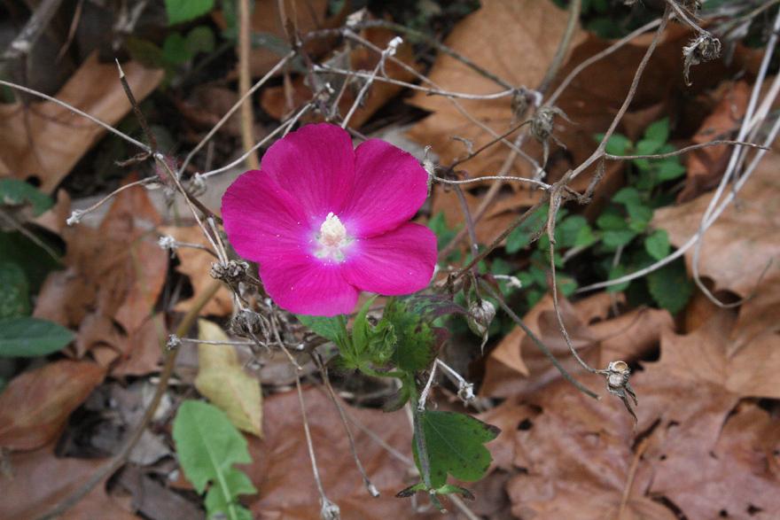 Wild petunia