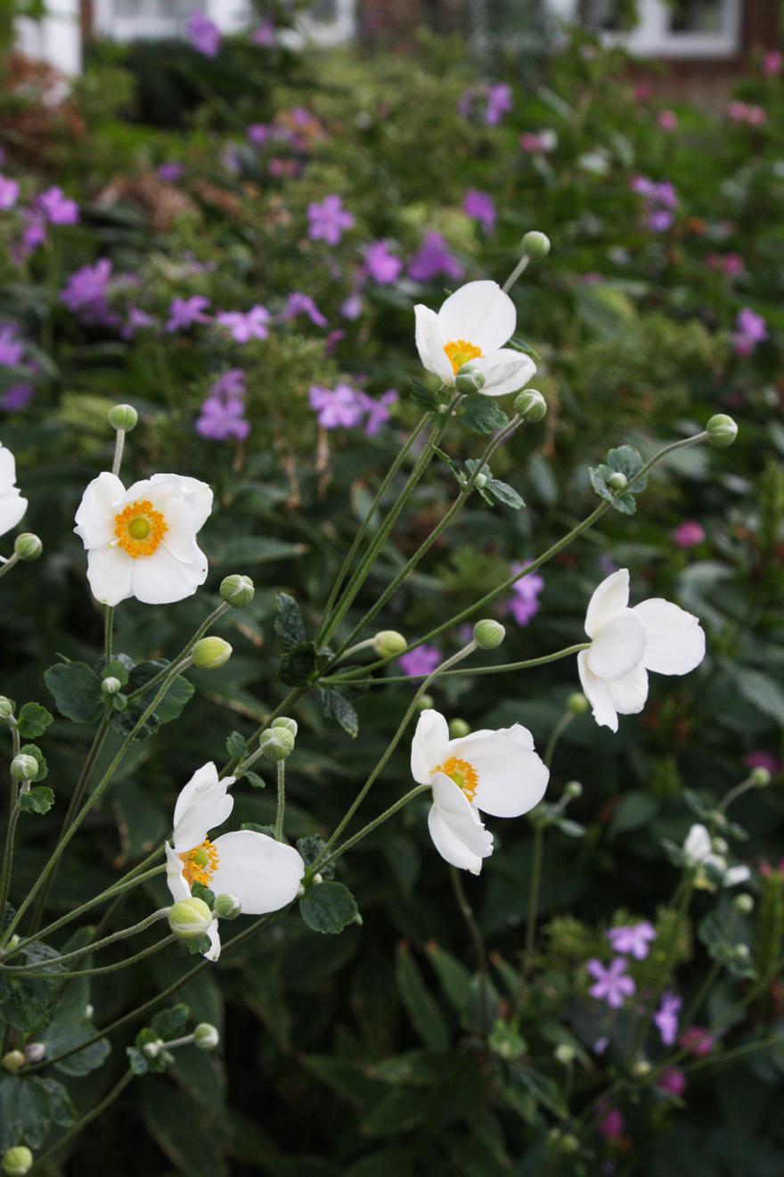 Anemone and Phlox