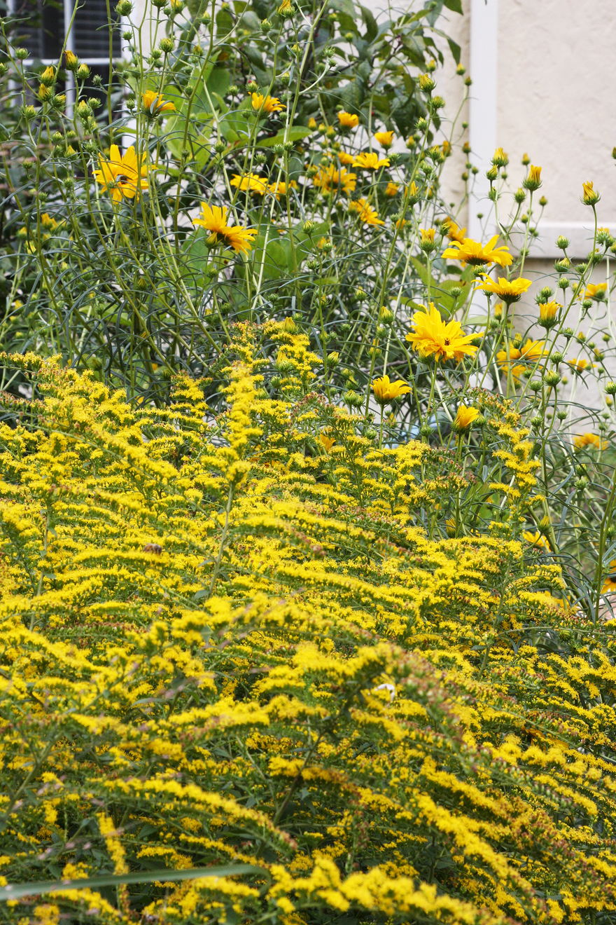 goldenrod and sunflowers