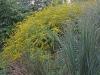 Rough goldenrod and Panicum
