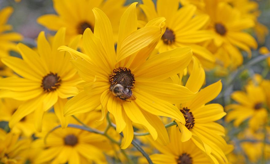 Willowleaf sunflower
