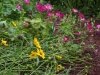 Coreopsis and mallow