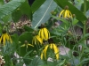 Gray-headed coneflower
