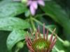 purple coneflower1