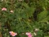 Anemone September Charm