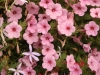 Supertunia \'Flamingo\' Petunia