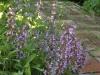 Salvia officianalis