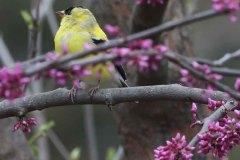 Goldfinch in redbud