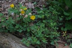 Celandine poppy, Yellow fumewort