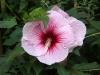 Hibiscus Summerific Summer Storm