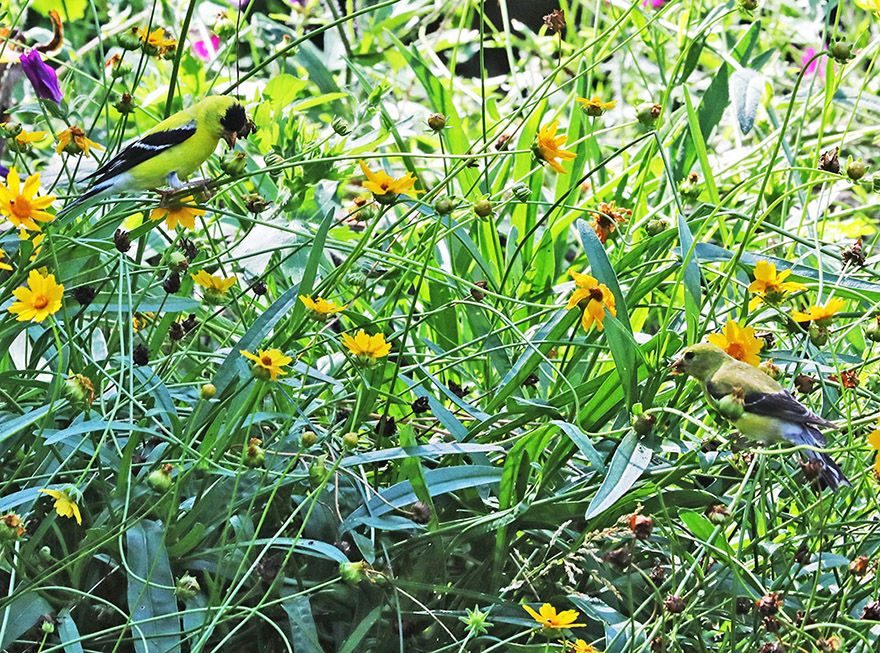 Gold finch on coreopsis
