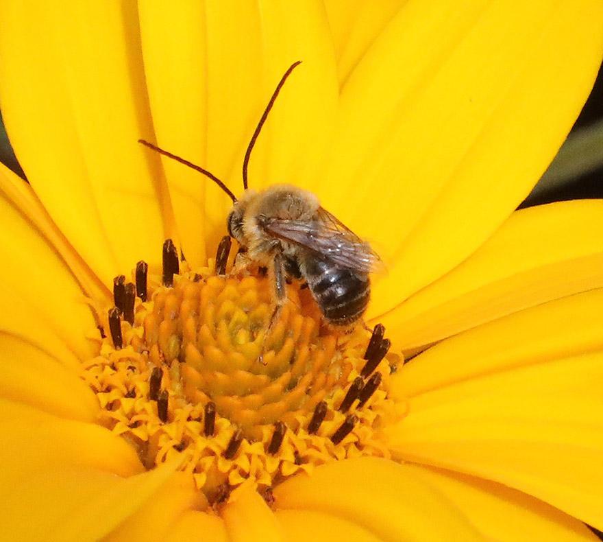 Long horned bee