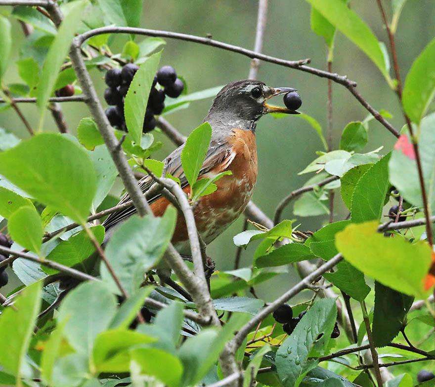 Robin on Chokeberry