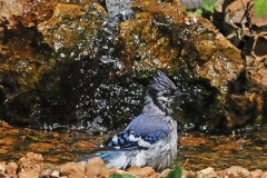 Bluejay at Bubbler