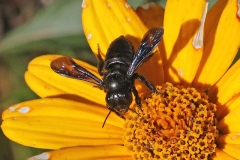 Native Bee at Heliopsis