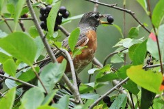Robin on Chokeberry