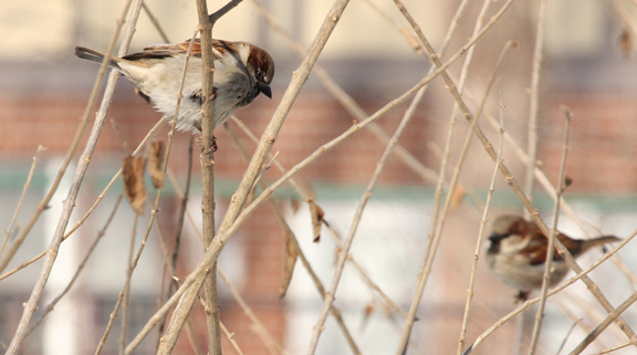 House Sparrows (Male)