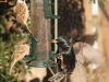 Eurasian Tree Sparrows (and Starling)