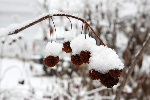 Buttonbush seed heads