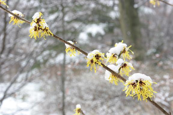 Witchhazel mollis in snow