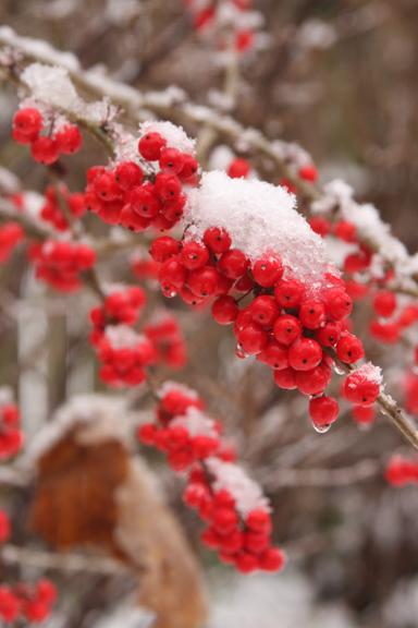 Possumhaw berries in snow