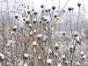 Aster seed heads
