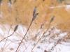 Siberian iris seed heads