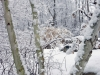 Birches in snow