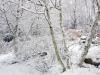 Birch grove in snow