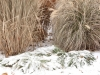 Grasses and sedges in snow