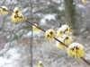 Witchhazel mollis in snow