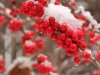 Possumhaw berries in snow