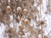 Rattlesnake master in snow
