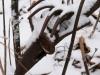Prairie Chicken in snow
