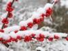 Winterberry in snow
