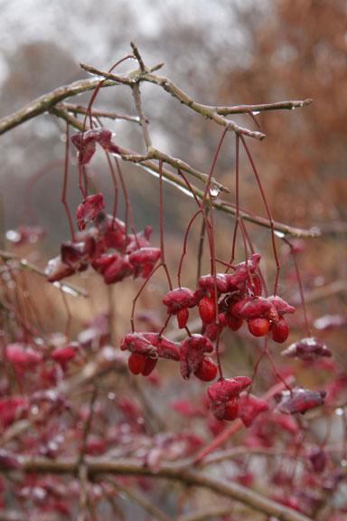 Eastern wahoo berries in ice