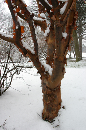 a picture of paperbark maple with peeling bark in winter