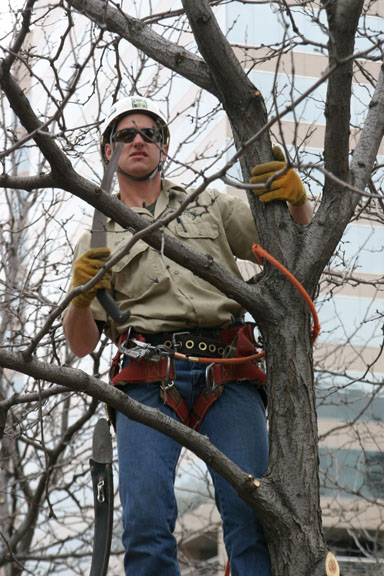 An image of an arborist in a tree